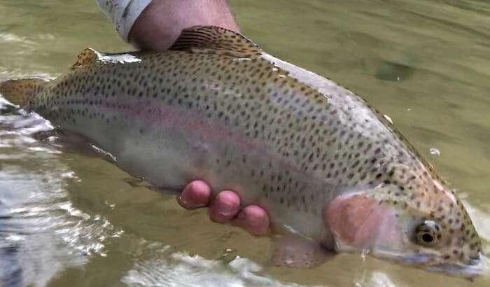 rainbow-trout